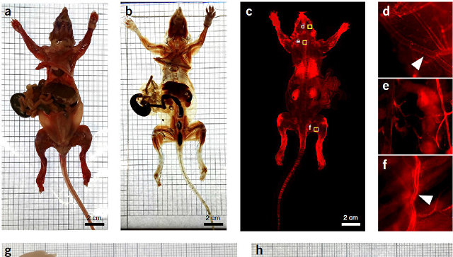 Ученые сделали мышь навсе 100% невидимой и бесцветной