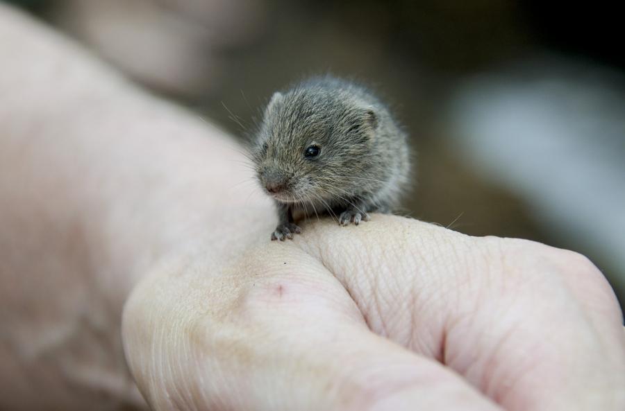 Мыши изменяют самкам, которые пьют менее алкоголя— Биологи