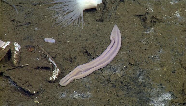 Морской носок поможет раскрыть тайны эволюции.