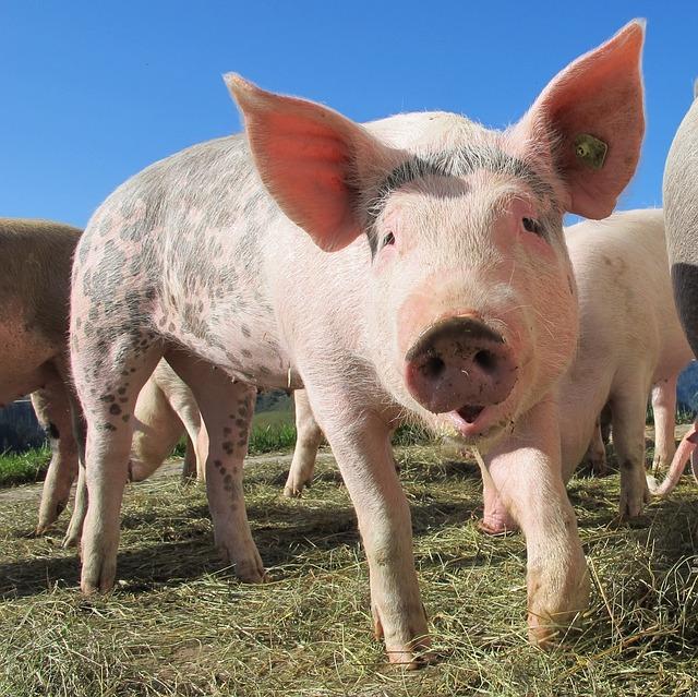 ВКитайской народной республике создали генетически модифицированных свиней без сала