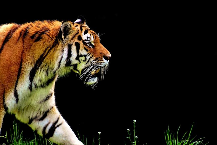 Китаянка требует отсафари-парка Пекина компенсацию засъеденную тигром мать