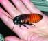 Оса зомбирует крупных африканских тараканов