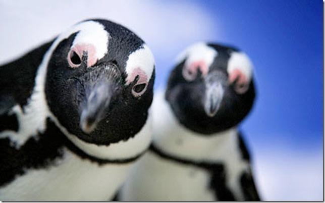 Ученые пояснили, почему пингвины нелетают