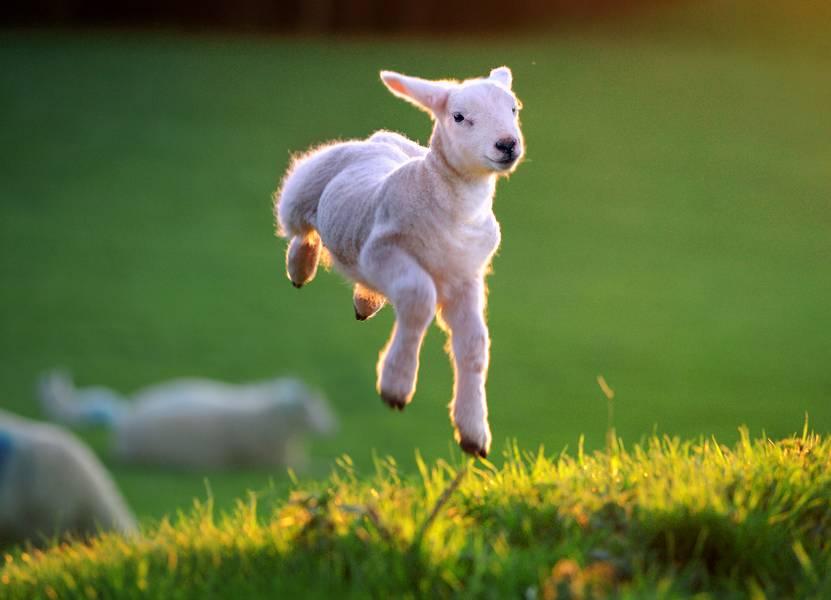 Ученые поведали, каким образом козы всостоянии узнавать друзей