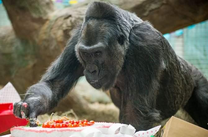 Старейшая горилла-невольница скончалась вСША