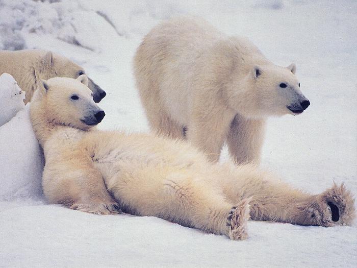 К 2050г численность белых медведей снизится натреть